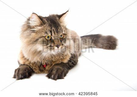 Studio Shot Of Persian Cat