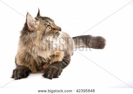 Persian Cat Looking Up