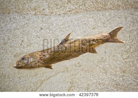 Fish Fossil With Skin