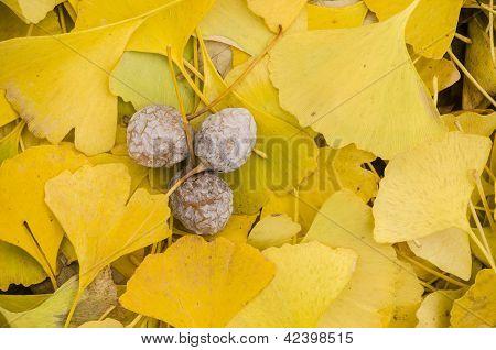Yellow Leaves Of Gingko Biloba With Fruits