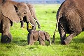 stock photo of grassland  - Elephants family on African savanna - JPG
