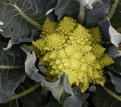 stock photo of romanesco  - Unique vegetable - JPG