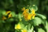 foto of celandine  - Celandine plant with yellow flowers as natural background - JPG