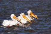 image of klamath  - American White Pelican Pelecanus erythrorhynchos on Upper Klamath Lake near Klamath Falls Oregon - JPG