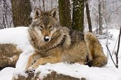 pic of lupus  - European gray wolf  - JPG