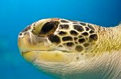 foto of oceanography  - Loggerhead Turtle Closeup of head showing eye - JPG