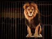 stock photo of lions-head  - Lion in circus cage - JPG