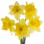 picture of jonquils  - Yellow jonquil flowers isolated on white background - JPG