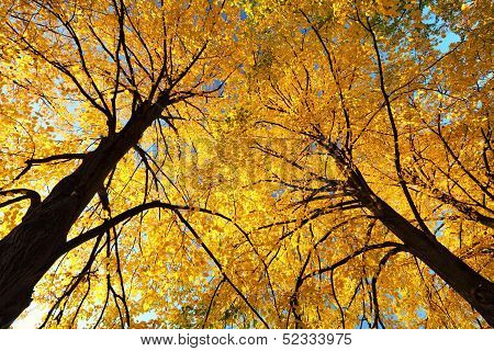 Autumn Yellow Leaves On Top Of Trees