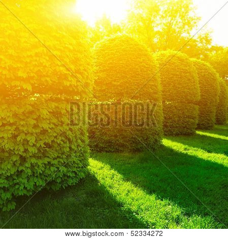 Green Bushes In Sun Light