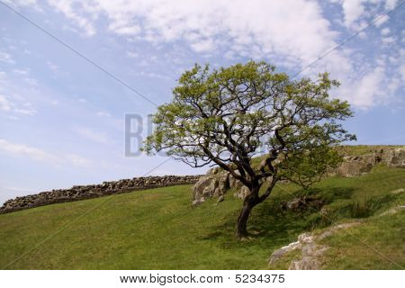 Tree On Hill , Drystone Wall And Sky