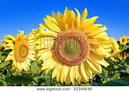 Ripe,young Sunflowers On The Blue Sky Background.