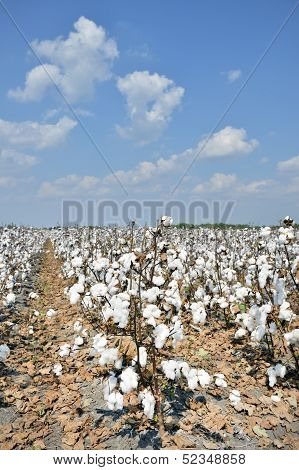 Cotton plantation in southern Texas USA