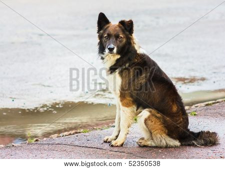 Portrait Of A Stray Dog In Street.