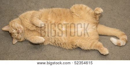 Fat orange cat sleeping
