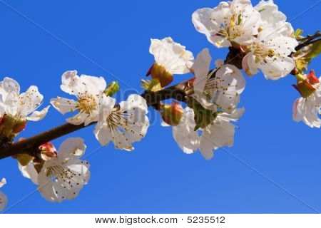 Tree With White Flowers On Blue (sky) Background