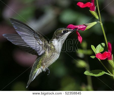 Black-chinned Hummingbird Archilochus Alexandri