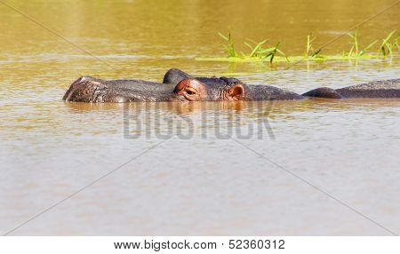 Hippopotamus submerged in Pond, Kruger National Park
