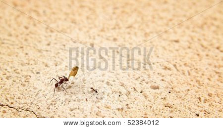 Ant showing a little part of a leave to a little ant