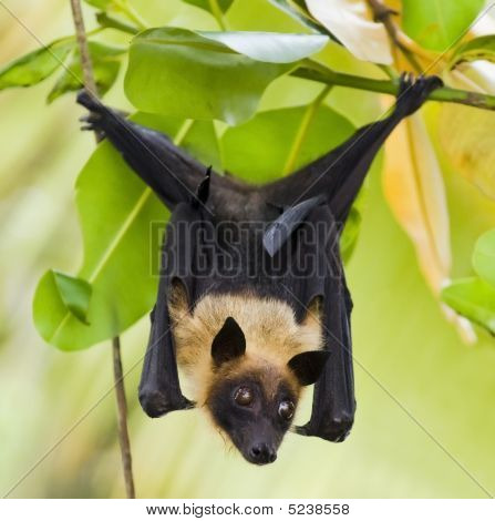 Fruit Bat Hanging In A Tree