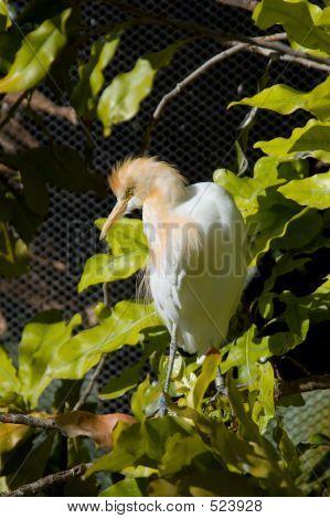 Cattle Egret Closeup