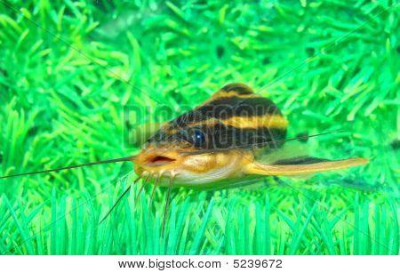 Catfish Striped Platidoras Costatus