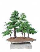 pic of bonsai  - Bonsai tree with white background  - JPG