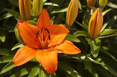 stock photo of asiatic lily  - Lilium asiatic variety in flower in garden - JPG
