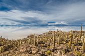 image of peyote  - View of Incahuasi island Salar de Uyuni Bolivia - JPG