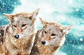 image of coyote  - Coyote pair against the blue winter sky - JPG
