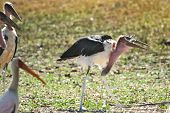 Maribou Stork eating chick