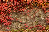 stock photo of climbing wall  - climbing plant with red leaves in autumn on the old stone wall - JPG