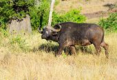picture of cape buffalo  - Cape Buffalo - JPG