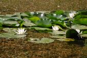 picture of hydrophytes  - some white water lilies and a frog on the front leaf - JPG