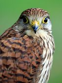 image of goshawk  - Portrait of Northern Goshawk on a green background - JPG