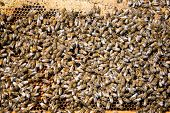 stock photo of bee keeping  - Detail of bees swarming on a honeycomb - JPG