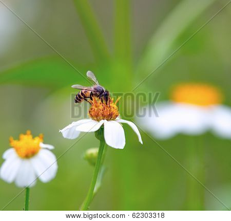A Bee  Drinking Nectar From The Flower