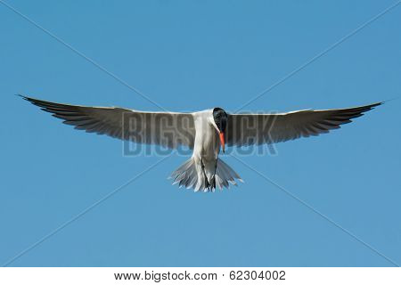 Caspian Tern In Flight With Classic Head Down Pose