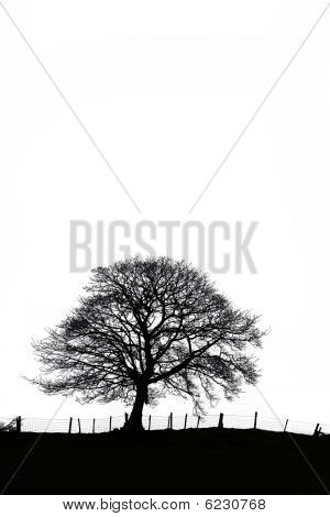 Sycamore Tree In Winter In Silhouette