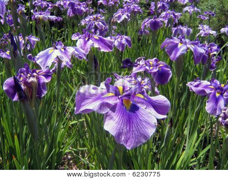 Field of Flowering Blue Iris Flowers on a Sunny Day