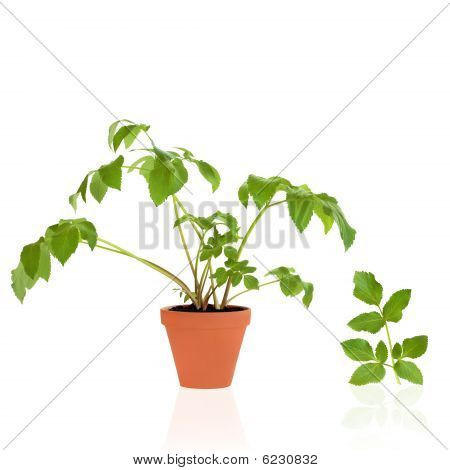 Angelica Herb And Leaf Sprig