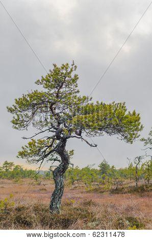 Old Bog Pine