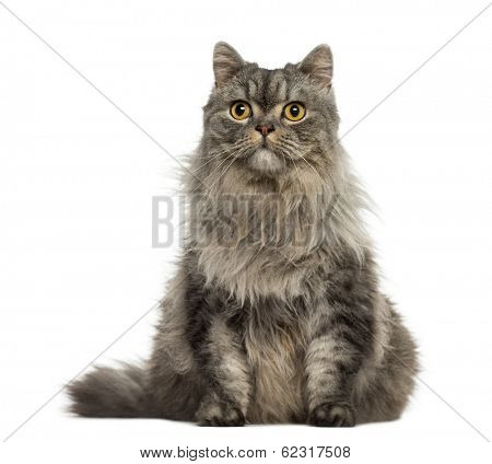 Turkish Angora sitting and looking away