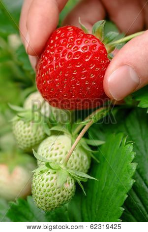 Ripe Strawberry Being Plucked