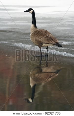Canada Goose and Reflection on Partially Frozen River