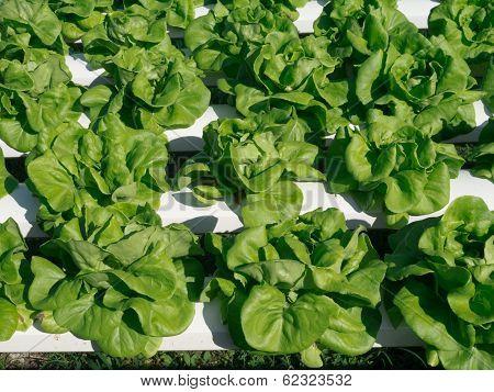 Hydroponic Vegetable (butterhead)