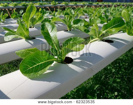 Hydroponic Vegetable In Garden.