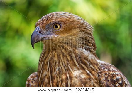 Bird of prey Whistling Kite