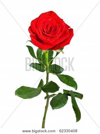 Red Rose With Green Leaves And Water Drops Isolated On White Background