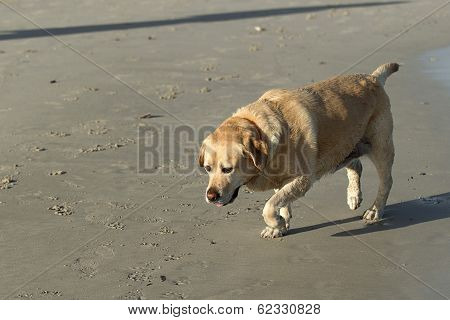 Labrador Dog On The Beach